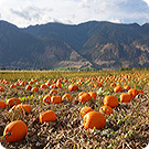 Colombie Britannique : Keremeos Pumpkin Patch